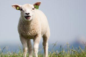 Lammetjesdag bij Geitenkaasboerderij Pollehof @ Geitenkaasboerderij Pollehof   Kwadendamme   Zeeland   Nederland